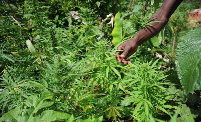 Marijuana Giamaica