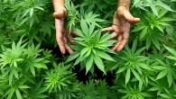 Cannabis medica legalizzazione