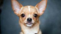 cani piccolissima taglia pelo corto