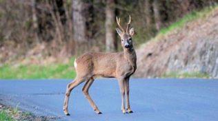 Incidenti animali selvatici assicurazione