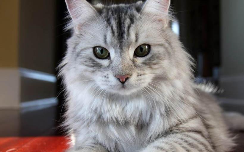 Allevamenti Gatto Siberiano Allevamento Del Gatto