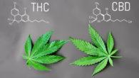 THC urine